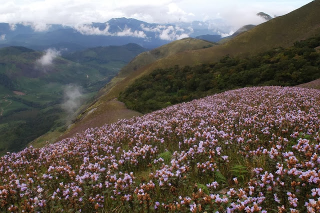 munnar neelakurinji season, massive neelakkurinji blooming in munnar